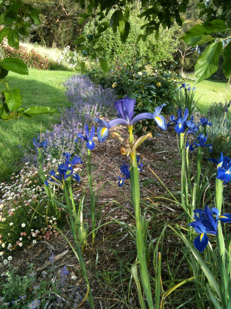 Irises and catmint